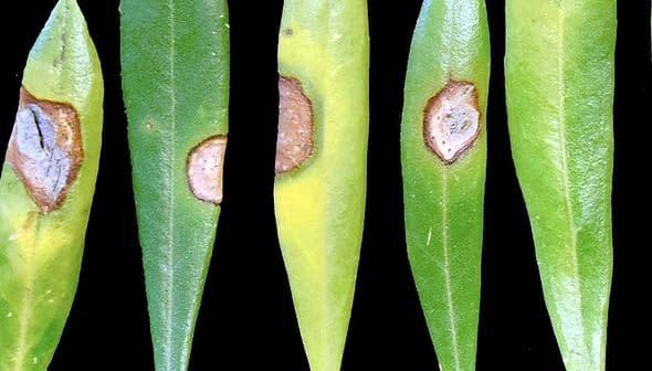 Neofabraea (Photo: Olive Oil Commission of California)