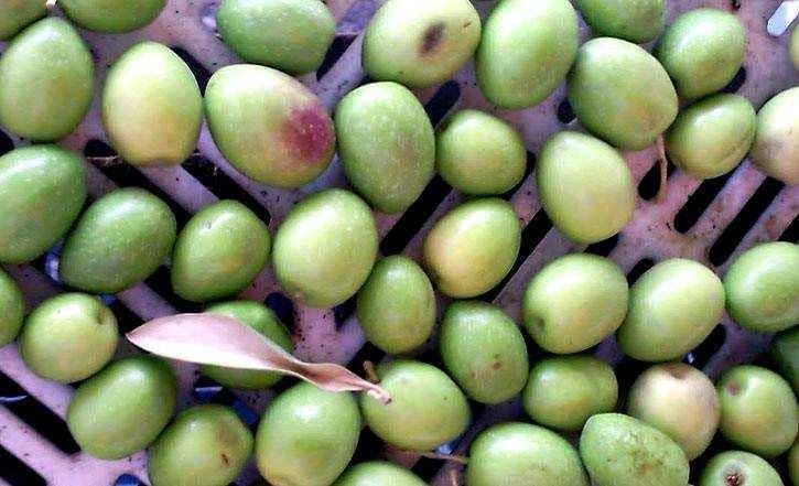 son las aceitunas de la mision realmente picholine marocaine olive oil times