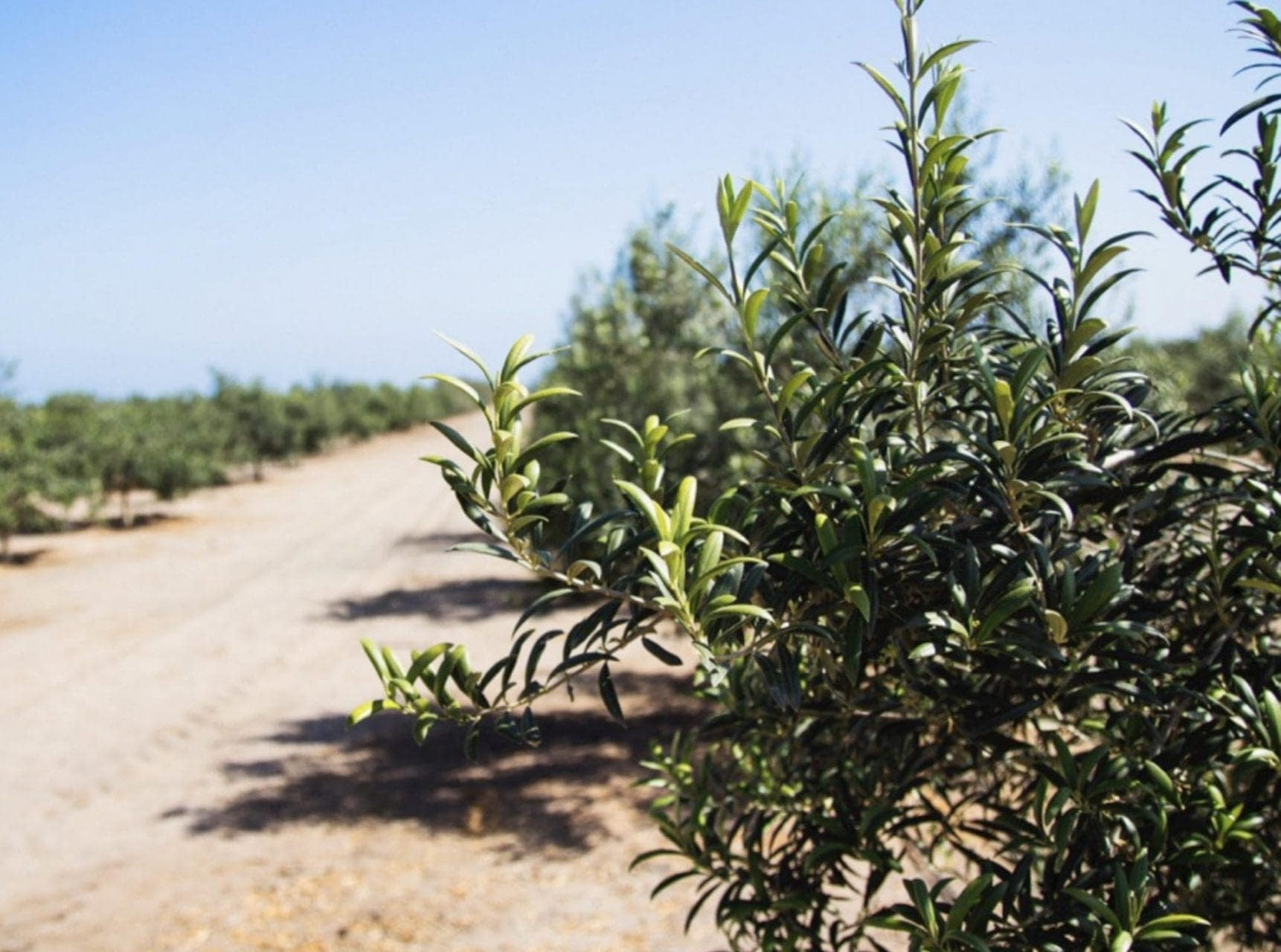 business-production-south-america-an-olive-harvest-in-peru-amid-sweeping-changes-olive-oil-times