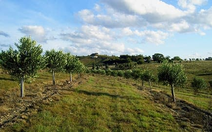 south-america-uruguay-joins-international-olive-council-olive-oil-times-olive-farm-uruguay