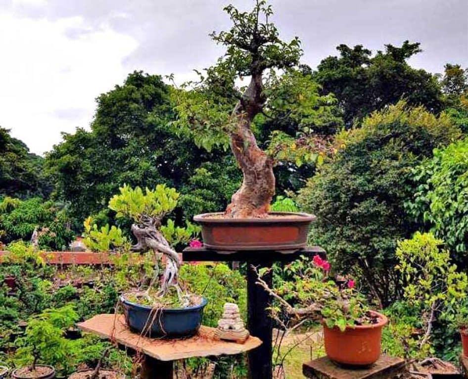 Bonsai Masters The Art Of Olive Bonsai Olive Oil Times