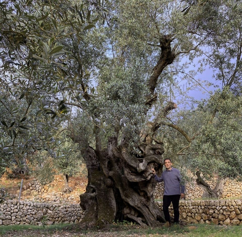 europe-briefs-having-survived-invasion-and-disease-millenary-olive-tree-recognized-in-spain-olive-oil-times