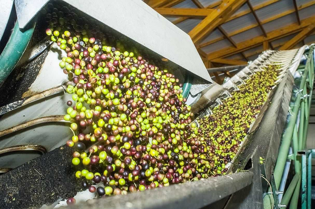 competitions-south-america-the-best-olive-oils-south-american-producers-celebrate-nyiooc-victories-after-tough-year-olive-oil-times