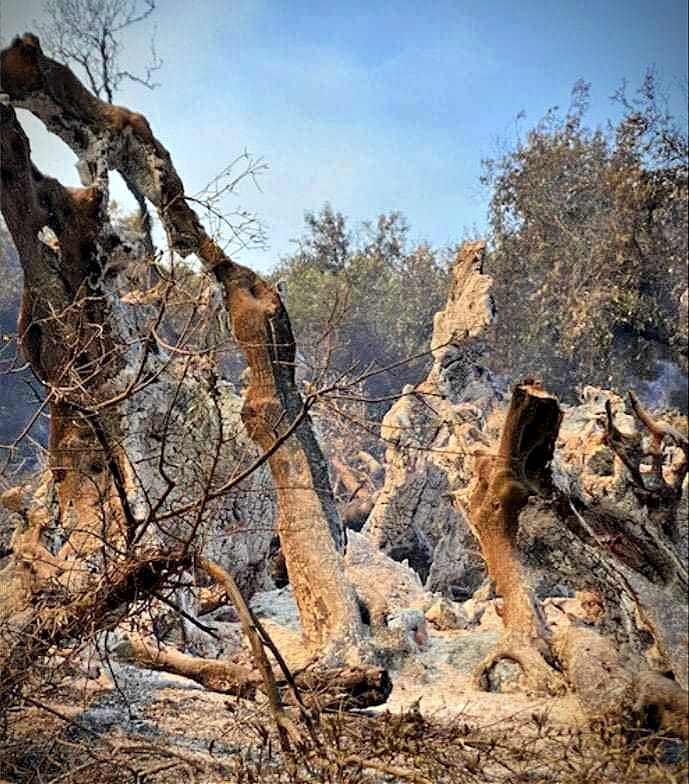 business-europe-production-heatwave-deadly-fires-threaten-the-approaching-olive-harvest-in-greece-olive-oil-times