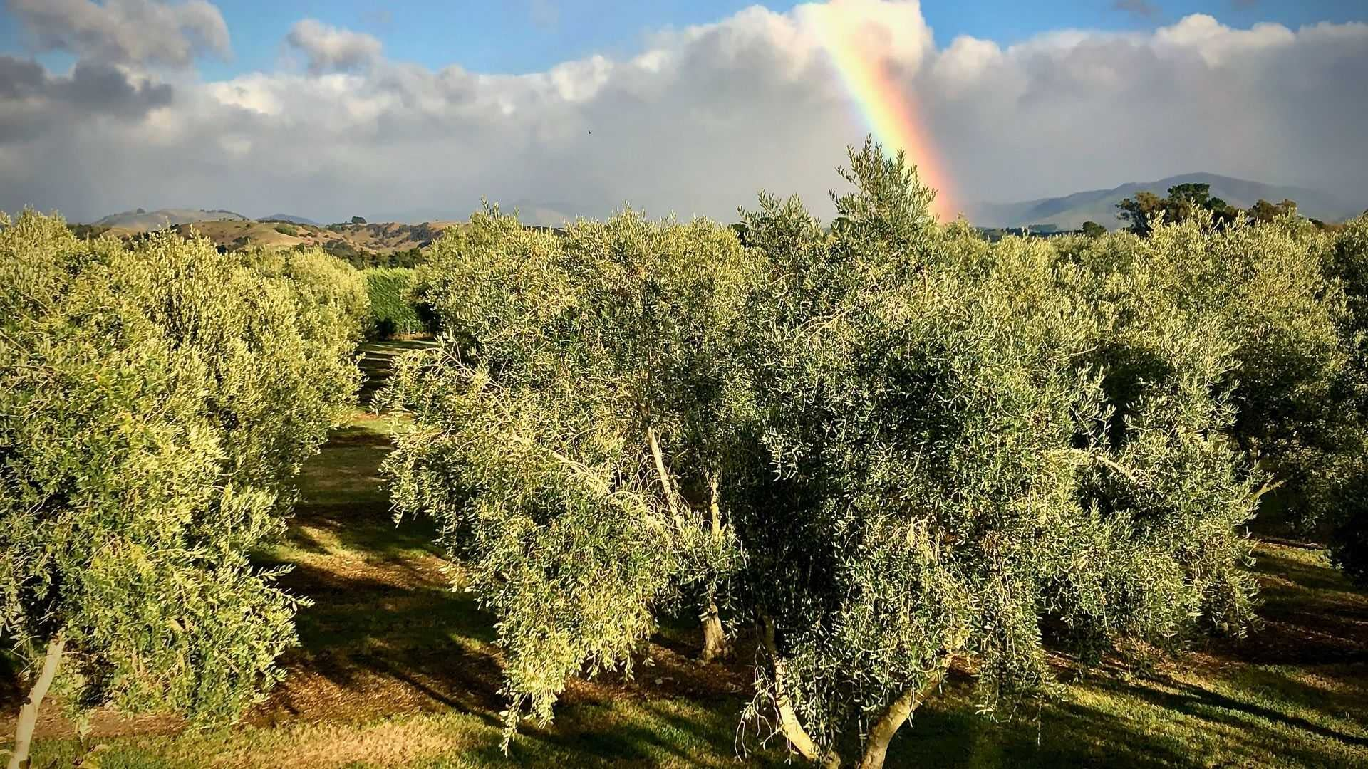australia-and-new-zealand-business-production-producers-in-new-zealand-celebrate-bumper-harvest-olive-oil-times