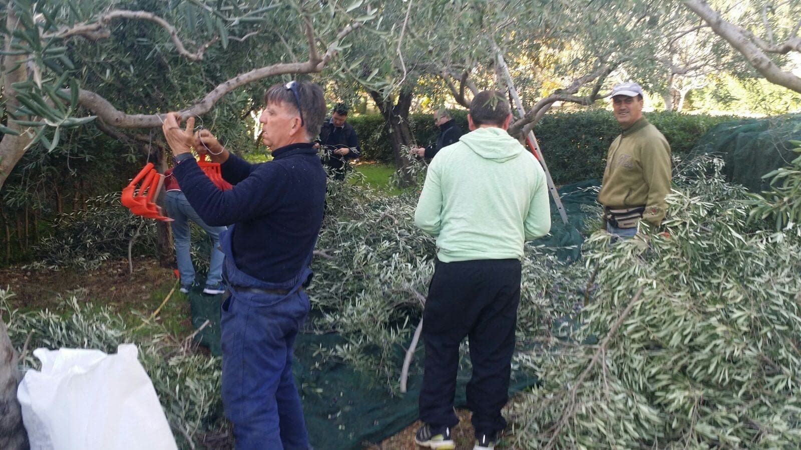 europe-production-world-volunteers-lend-a-hand-in-italys-olive-harvest-to-help-those-in-need-olive-oil-times