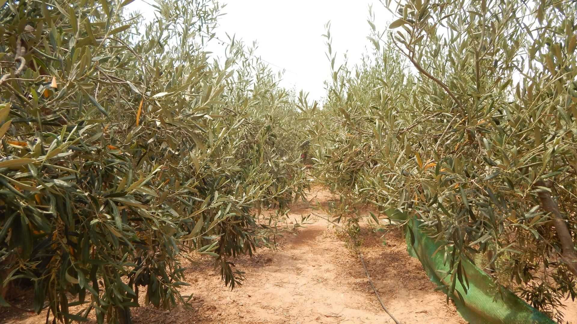 europe-profiles-production-meet-one-of-spains-hobby-olive-growers-olive-oil-times