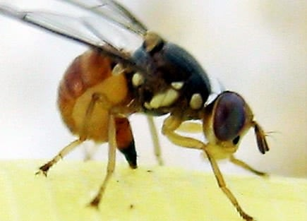 europe-production-spain-considers-trial-release-of-geneticallymodified-olive-flies-olive-oil-times-spain-considers-trial-release-of-geneticallymodified-olive-flies