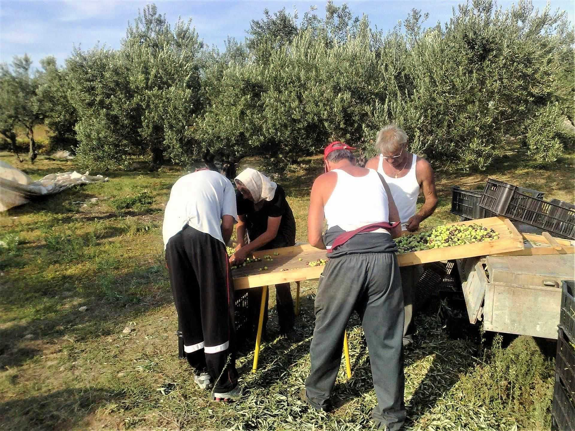 europe-competitions-profiles-production-the-best-olive-oils-world-the-farmer-behind-the-dramatic-rise-of-dalmatian-olive-oils-on-the-world-stage-olive-oil-times