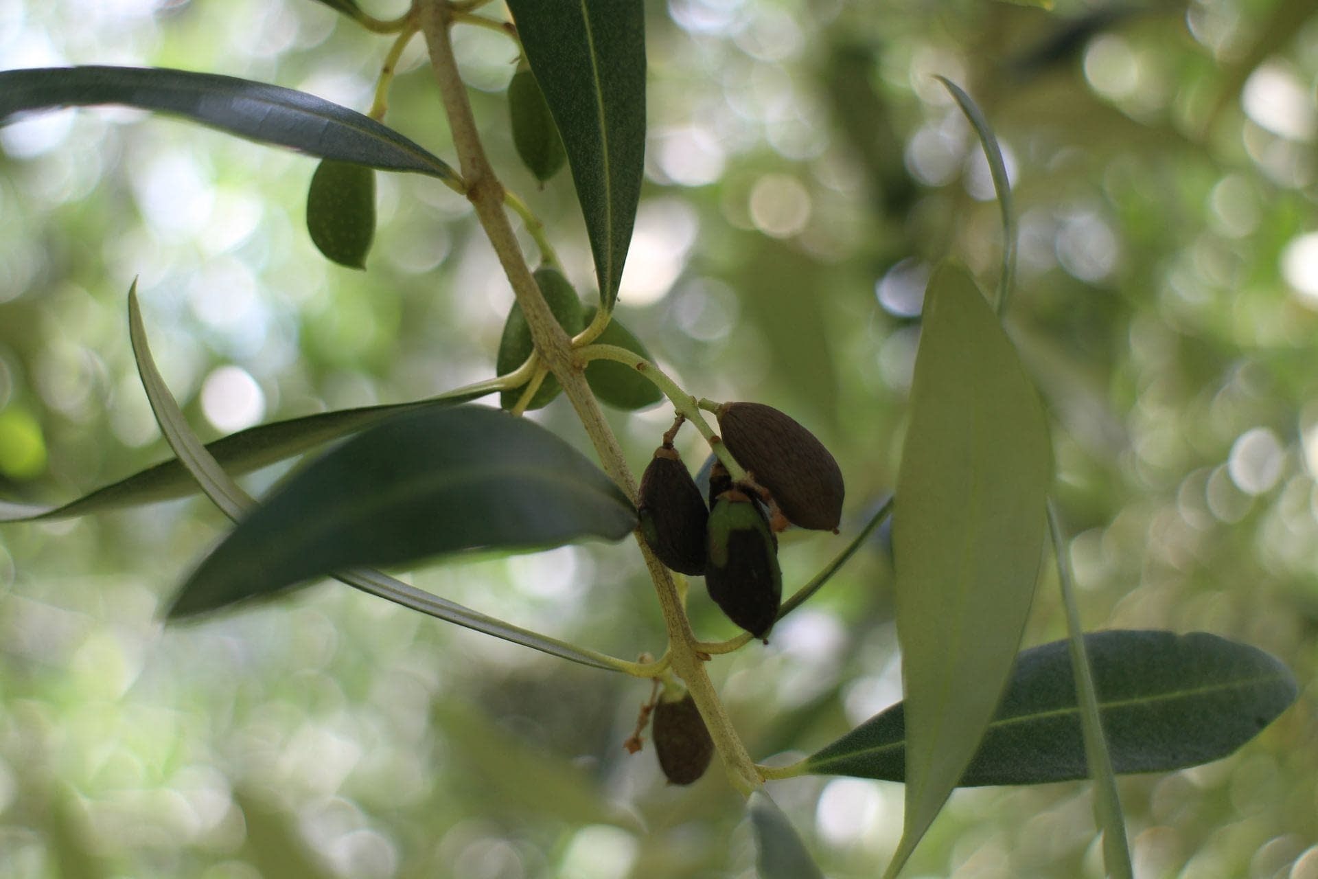 europe-asian-bug-may-be-cause-of-green-drop-in-olive-trees-researchers-find-olive-oil-times