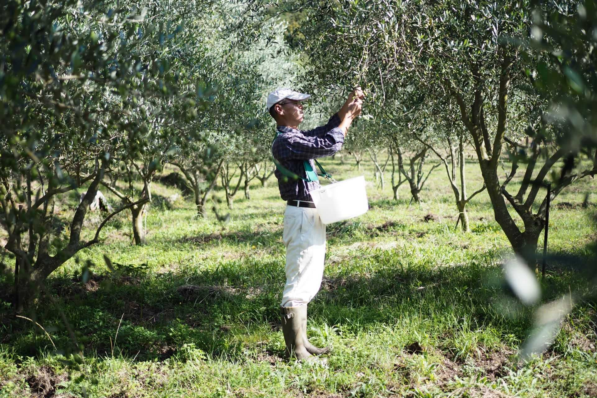 asia-competitions-profiles-the-best-olive-oils-awardwinning-producers-optimistic-as-olive-oil-culture-takes-root-in-japan-olive-oil-times