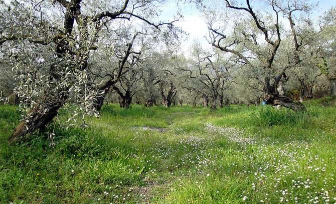 europe-greek-olive-oil-production-down-fifty-percent-olive-oil-times-greek-olive-oil-production-down-fifty-percent-