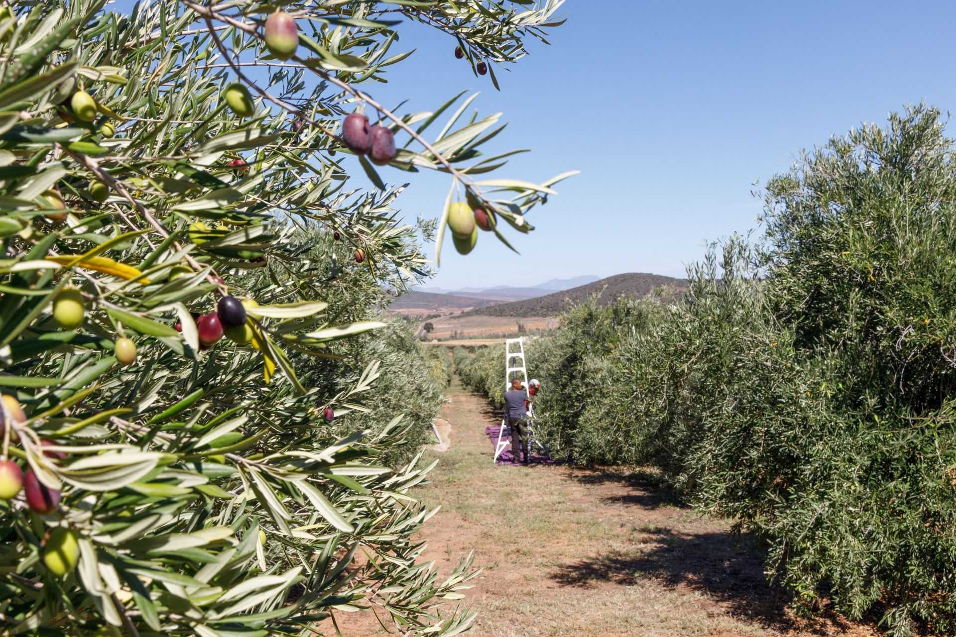 africa-middle-east-competitions-the-best-olive-oils-bountiful-harvest-yields-wins-for-south-african-producers-at-world-competition-olive-oil-times