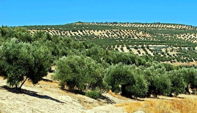business-world-olive-oil-consumption-slips-production-rebounds-olive-oil-times-andalucia-spain