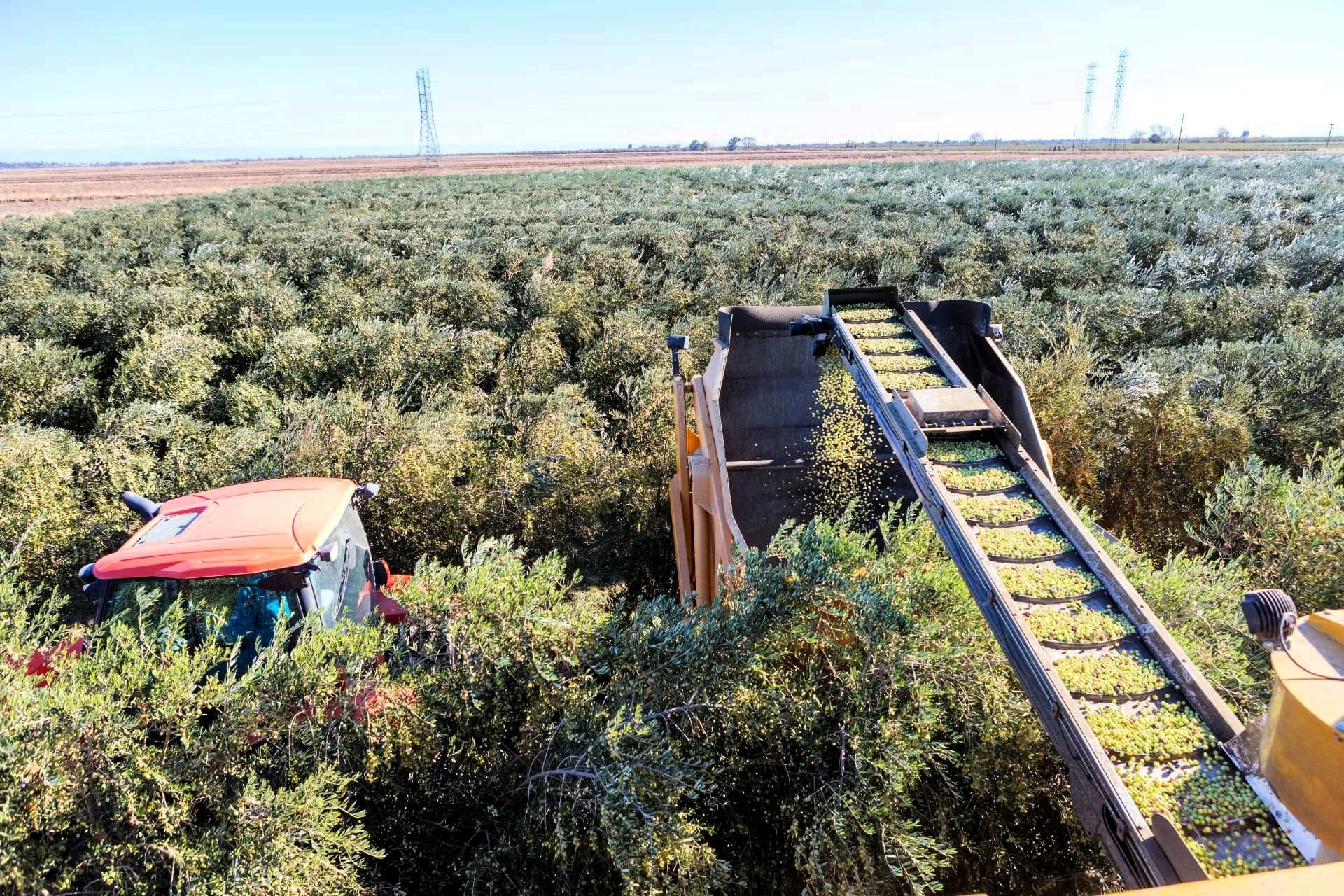 north-america-profiles-production-the-best-olive-oils-family-behind-organic-roots-adapts-as-california-drought-refuses-to-break-olive-oil-times