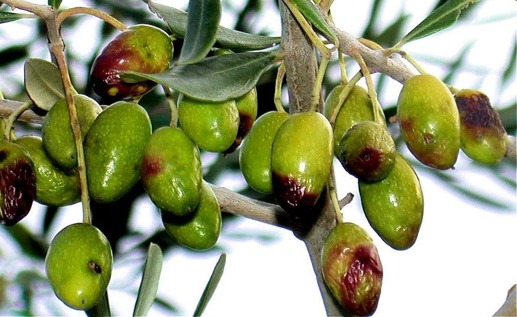 europe-production-experts-en-italie-offre-des-conseils-pour-les-oliviers-luttant-contre-la-mouche-des-fruits-huile-d'olive-temps