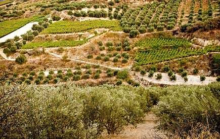 europe-greece-turns-away-cretan-olive-oil-producers-seeking-aid-olive-oil-times-greek-government-turns-away-cretan-olive-oil-producers