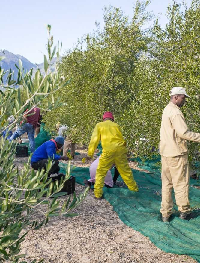 africa-middle-east-business-production-mixed-expectations-as-harvest-gets-underway-in-south-africa-olive-oil-times
