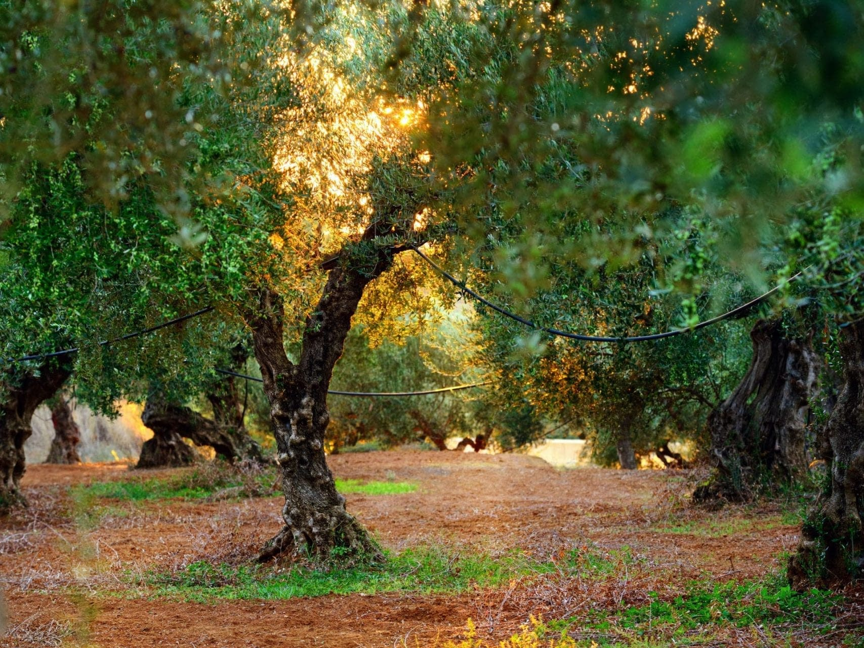 opinion-production-seeing-the-olive-tree-as-a-living-being-olive-oil-times