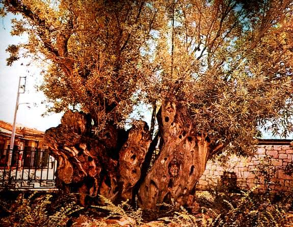 world-platos-sacred-olive-tree-vanished-olive-oil-times