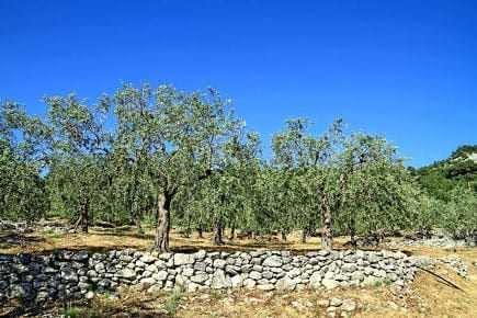 europe-greeks-seek-aid-for-olive-crop-disaster-olive-oil-times-greeks-seek-aid-for-olive-crop-disaster