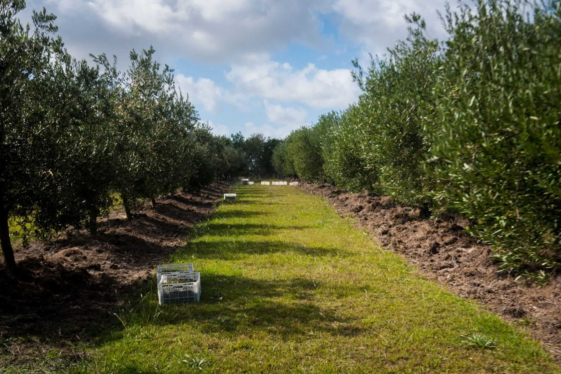 business-production-south-america-olive-oil-production-in-uruguay-set-to-rebound-olive-oil-times