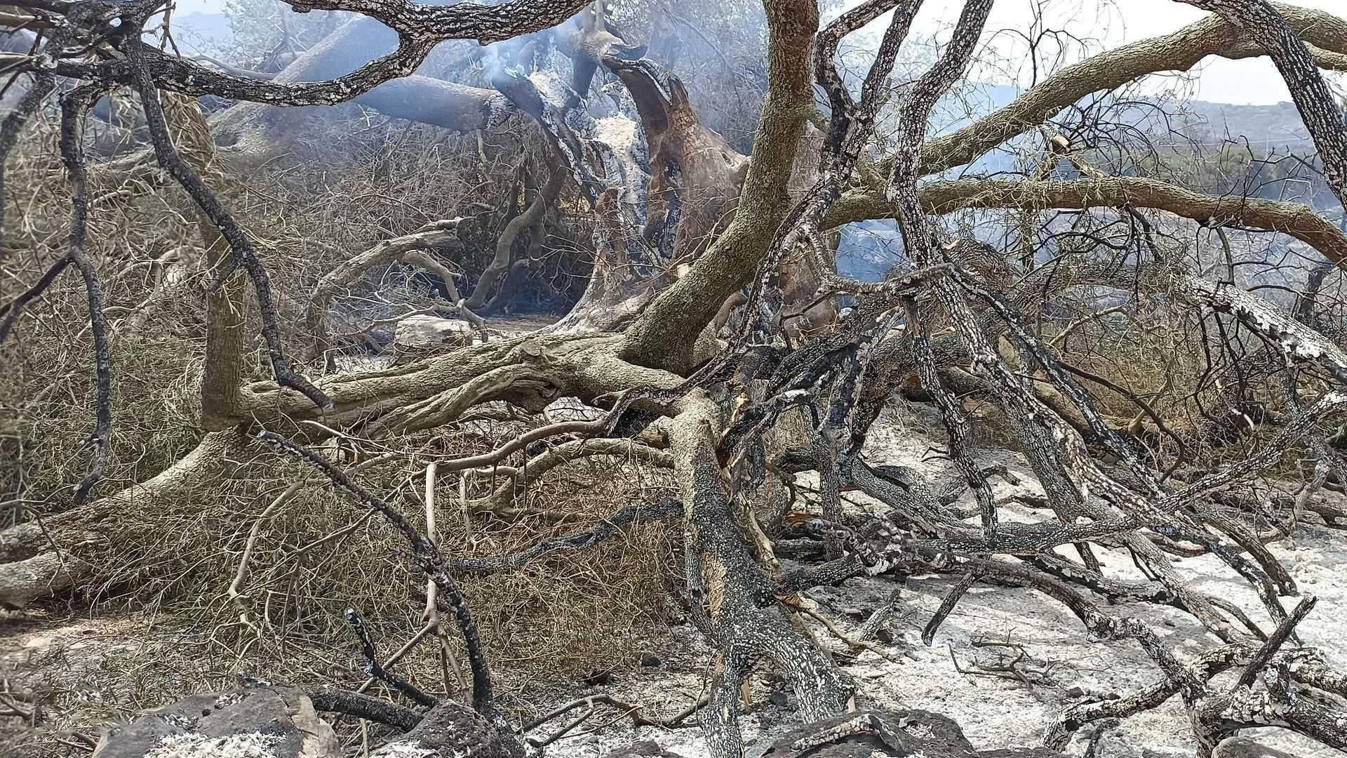 business-europe-millenary-olive-tree-destroyed-in-sardinian-wildfires-olive-oil-times