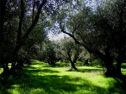 features-profiles-berkeley-olive-grove-old-ways-in-the-new-world-olive-oil-times