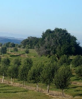 The groves of Uruguayan olive oil producer Finca Babieca