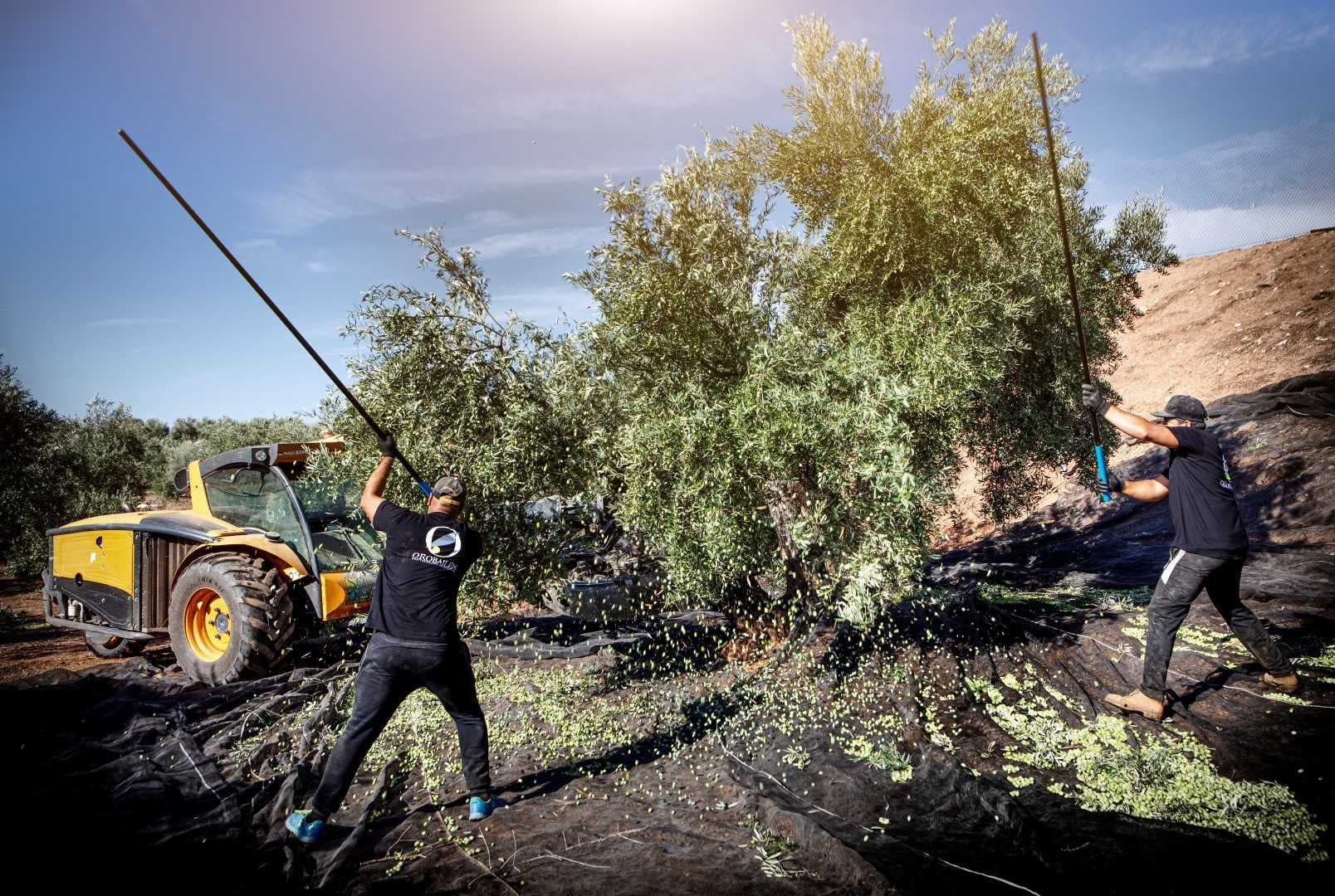 europe-competitions-the-best-olive-oils-andalusian-producers-overcome-obstacles-to-triumph-at-2021-nyiooc-olive-oil-times