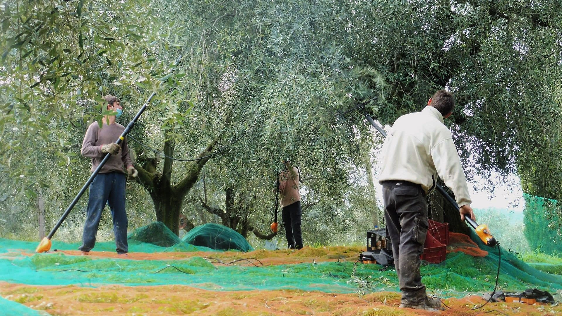 business-europe-production-production-rebounds-in-france-amid-climatic-challenges-olive-oil-times
