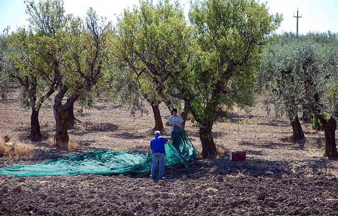 production-europe-puzzled-by-olive-tree-epidemic-olive-oil-times-europe-puzzled-by-olive-tree-epidemic